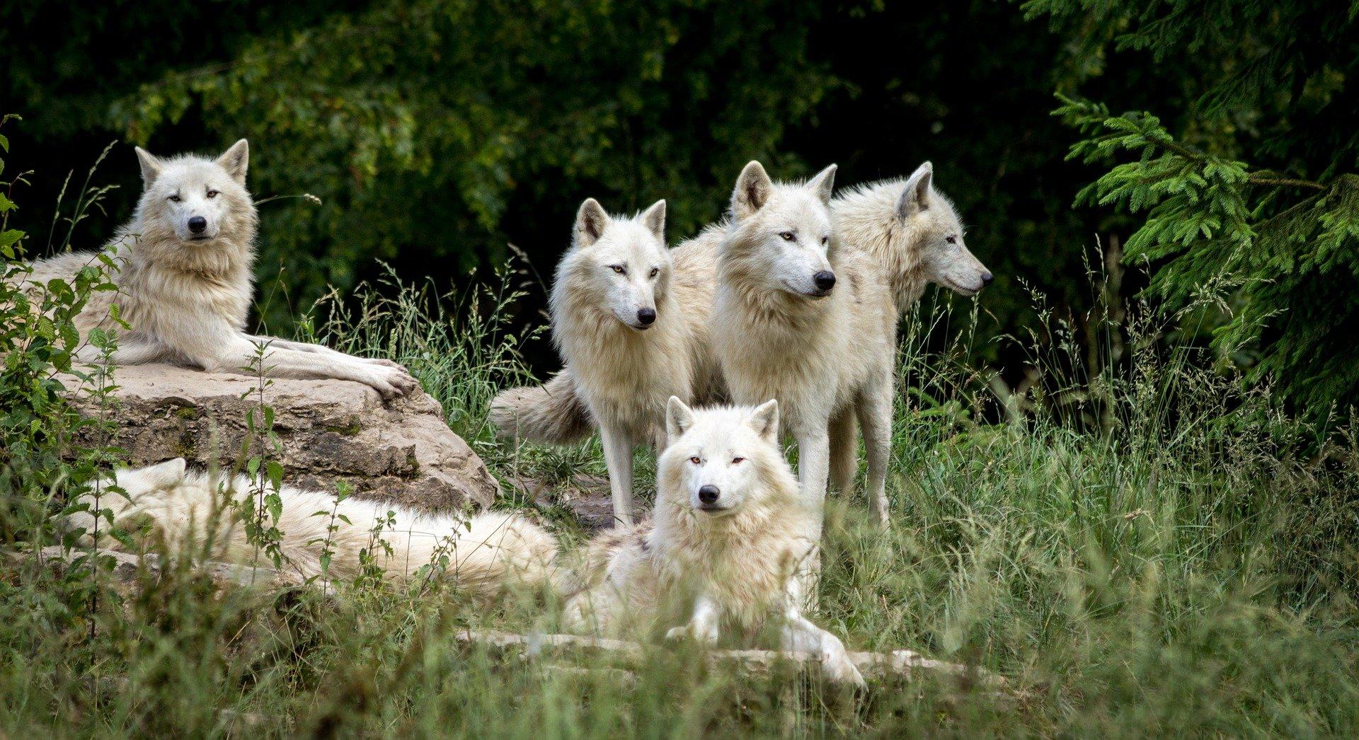 Wölfe müssen auf der Jagd zusammenarbeiten. Verletzungen zum Beispiel wegen Kämpfen um die Rudelführerschaft würden das ganze Rudel schwächen. Foto: Vincent Boulanger/Pixabay)